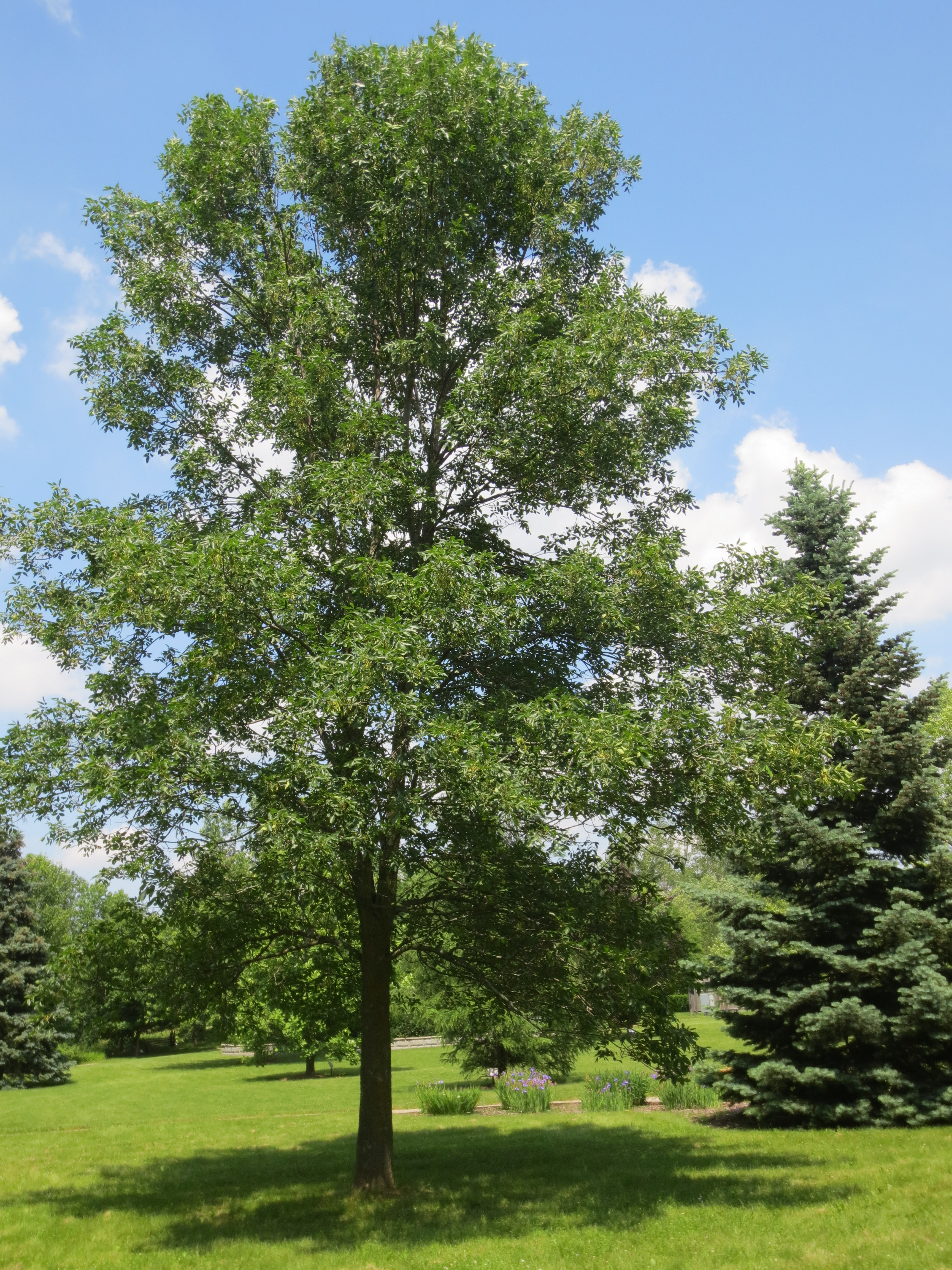 Which Trees Are Used To Make Paper: ASH TREE SPECIES IN ONTARIO (Fraxinus Spp.)